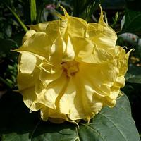 kak-vyrashchivat-cvetok-datura-1