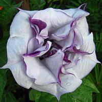 kak-vyrashchivat-cvetok-datura-2